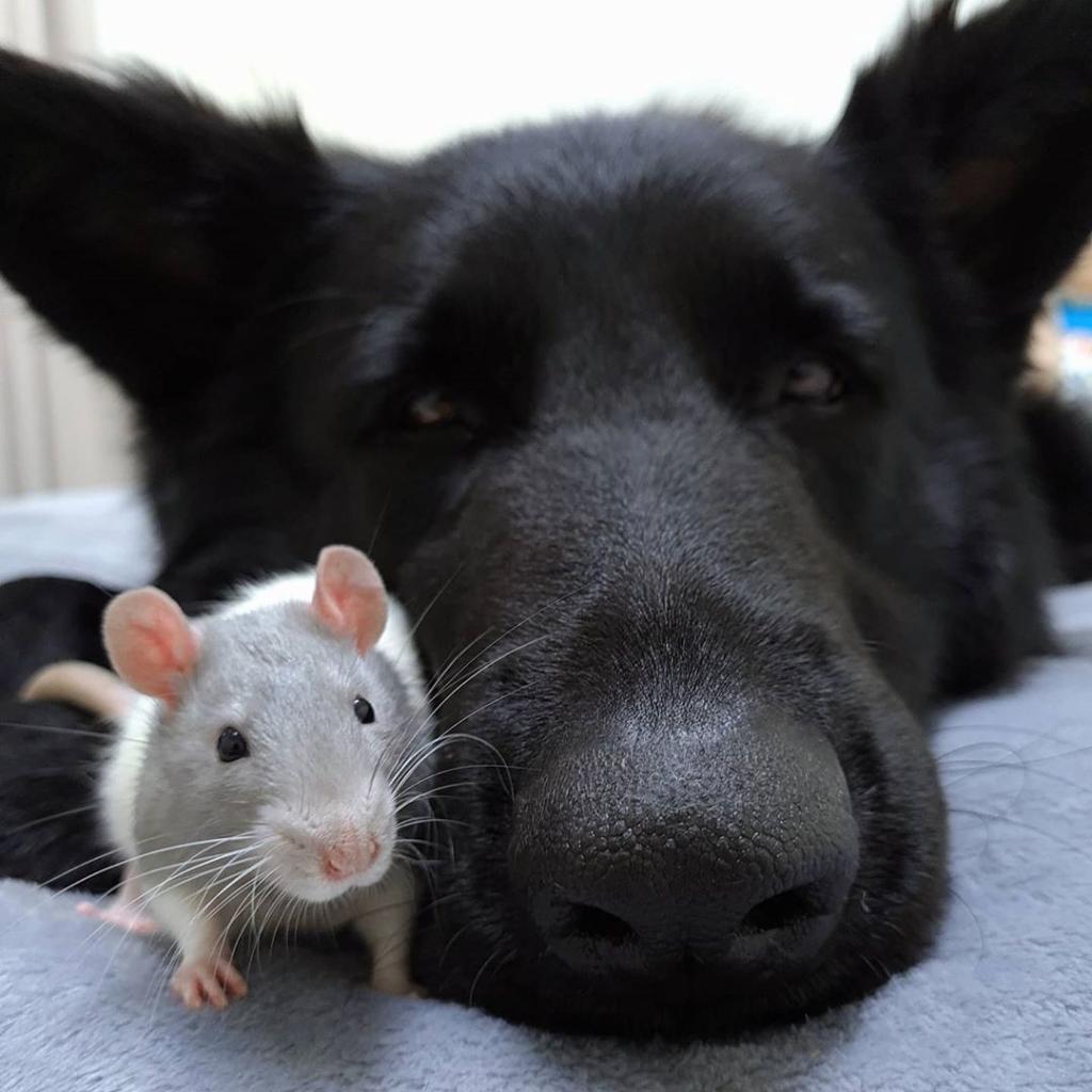 Женщина купила себе крысу: та сразу же нашла себе нового друга