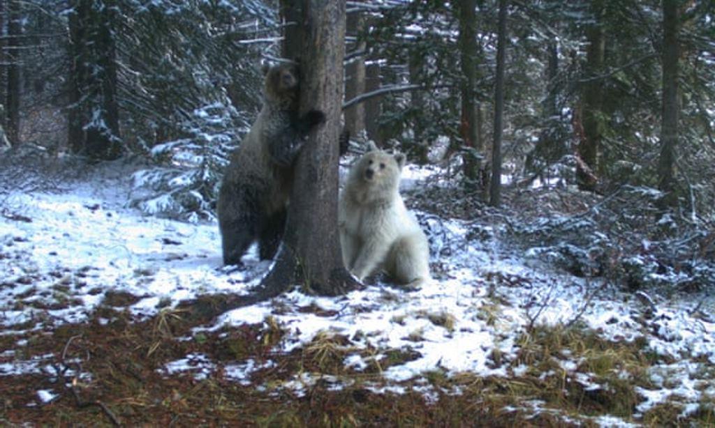 Они похожи, но такие разные   один белый, другой коричневый. В кадр случайно попал редкий белый гризли в канадских Скалистых горах