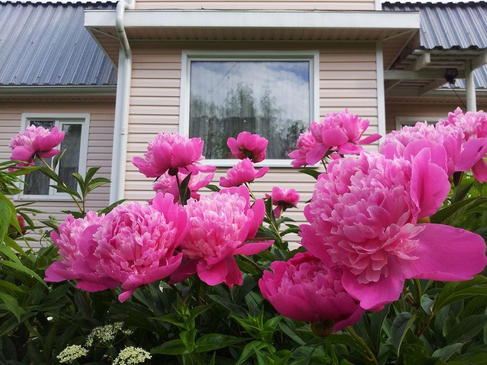 Пожаловалась соседке, что мой любимый пион плохо цветет. Она глянула на него и посоветовала запастись песком, а потом пересадить куст как надо