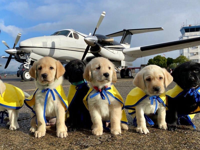 Пилоты-добровольцы из Калифорнии перевезли 29 щенков на сборные пункты, расположенные по всей стране: четвероногих обучат профессии поводырей