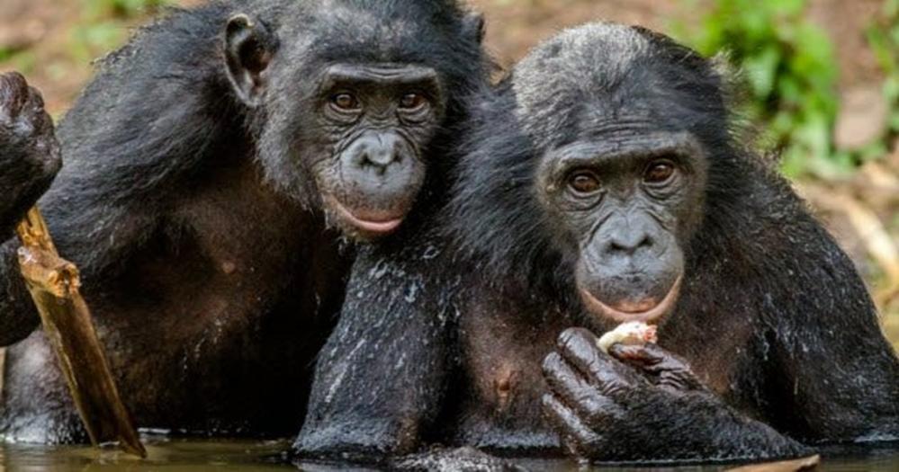Обезьяны дарят окружающим еду: 10 примеров, когда животные делают друг другу подарки