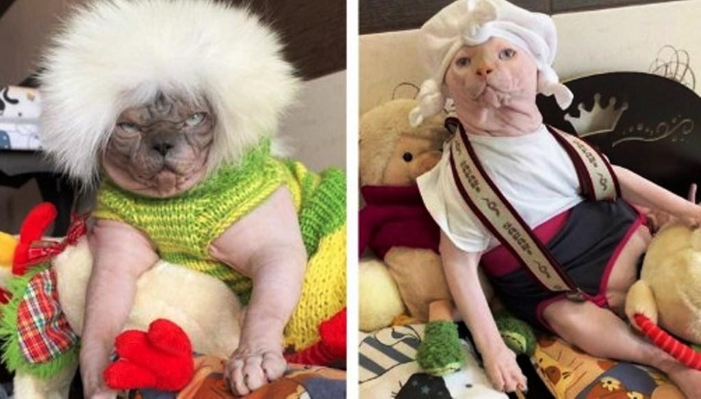 Без штанов, но в шляпах и кофточках, чтобы не мерзли: хозяйка создает кошкам сфинксам оригинальные наряды