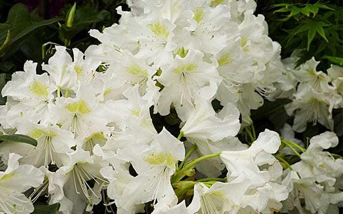 Какие белые цветы выбрать для бордюра: ракитник, орлайя, купырь и не только