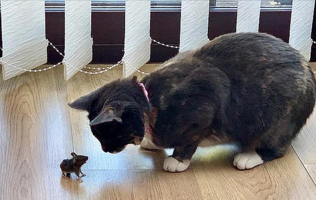 Настоящий Стюарт Литтл: мужчина вошел в комнату и увидел храбрую мышь, которая играла в гляделки с котом