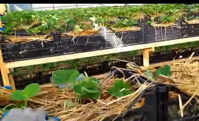Урожай будет богаче. Опытный огородник наглядно показал, как выращивать клубнику в ящиках на минеральной вате (видео)