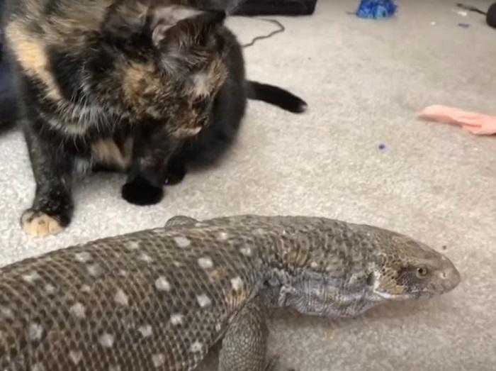 Необычная дружба: кошка и ящерица живут под одной крышей в полном согласии и мире (видео)