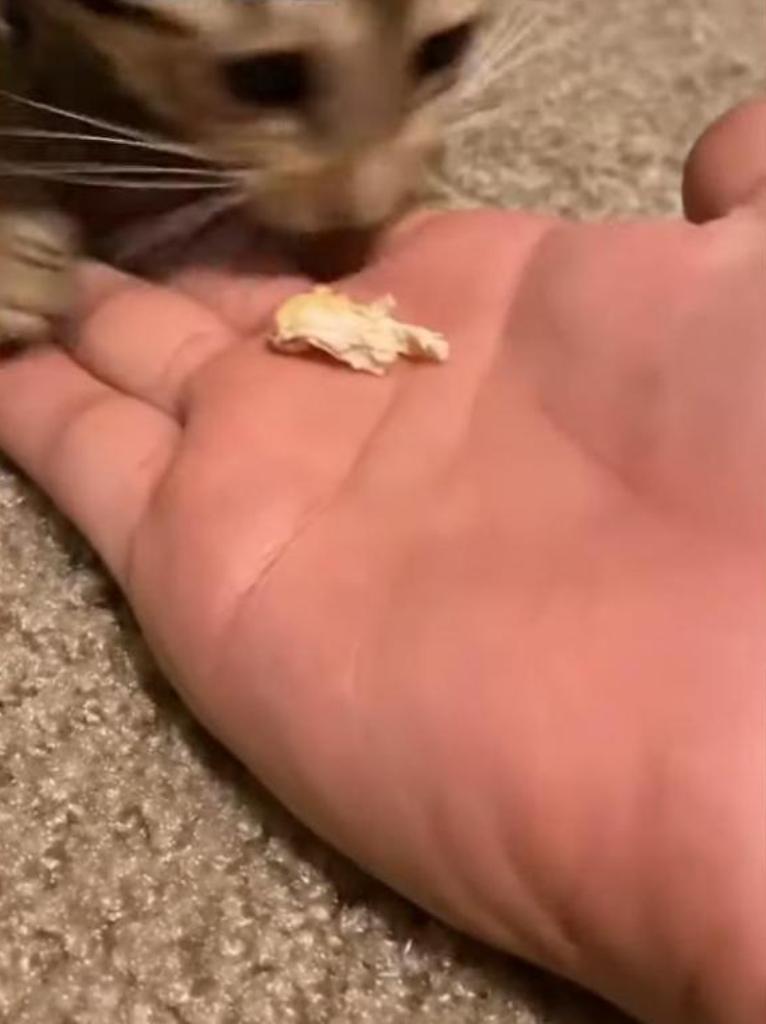 Проголодавшийся котенок издает забавные звуки во время еды: видео