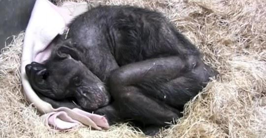 Погибающая шимпанзе очень трогательно простилась с человеком, которого знала более 40 лет