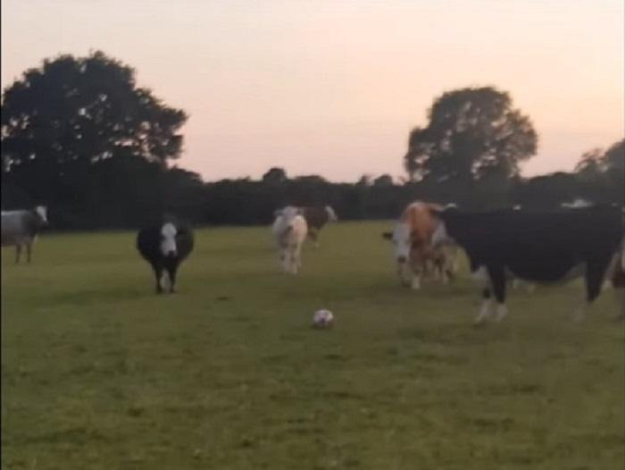 Коровы очень заинтересовались брошенным им футбольным мячом, вот только правила игры им никто не рассказал (видео)