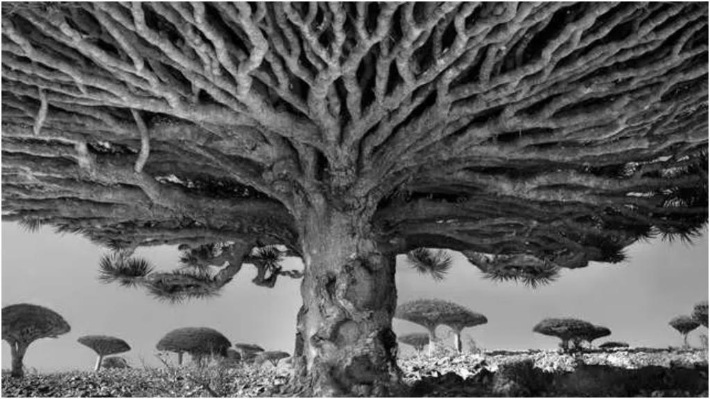Учись у них - у дуба, у березы...: самые старые деревья планеты (арт-фото)