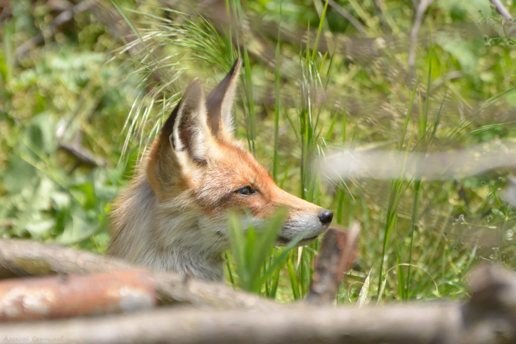 Если рыжая повадилась в курятник: как можно отвадить лису от домашних животных и сада