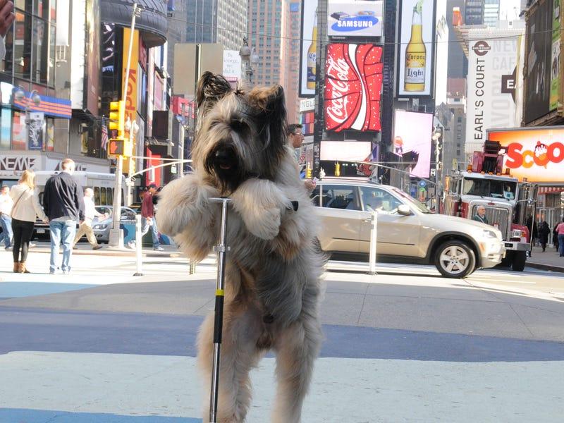 Собака проезжает 30 метров на скутере: ошеломляющие мировые рекорды среди животных
