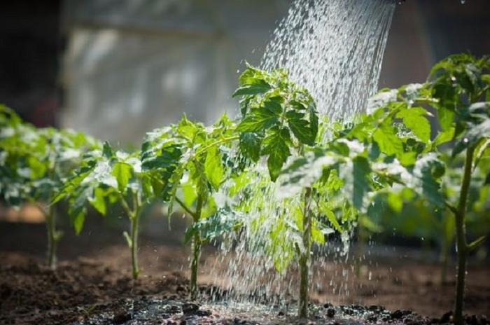 Чтобы томаты прижились и дали щедрый урожай, поливаю рассаду копеечным средством