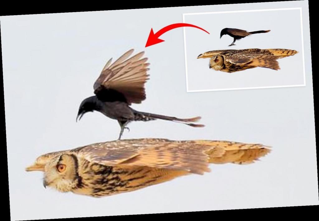 А теперь попробуй полетать без крыльев: бесстрашный черный дронго прокатился на сове