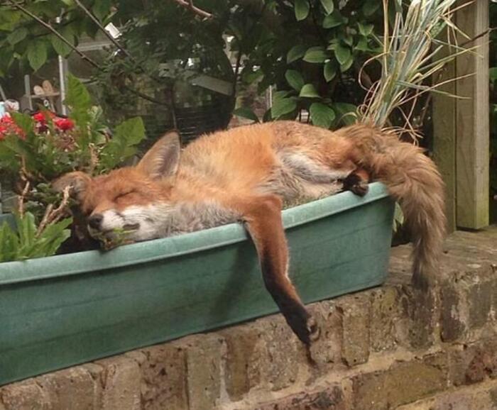 Пользователи интернета поделились фотографиями лисиц,  забравшихся в их сады