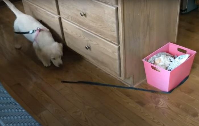 Забавный щенок пытался поймать конец своего поводка: когда смог, то понял, что бегал по кругу (смешное видео)