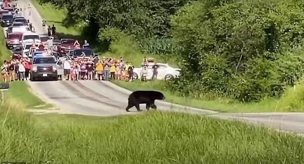 Медведь-путешественник прошел 640 км в поисках подруги и стал популярным в Сети