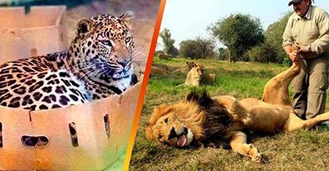 20 доказательств того, что большие дикие кошки — это всё те же кошки