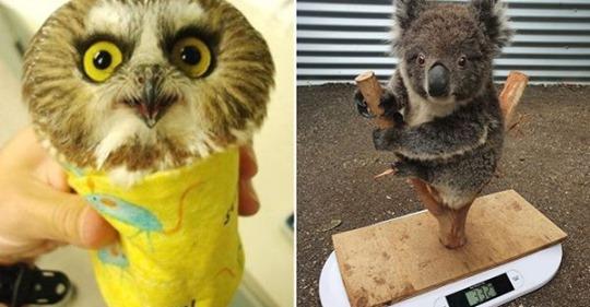 25 гениальных и таких милых способов, которыми зооработники взвешивают зверят разных видов