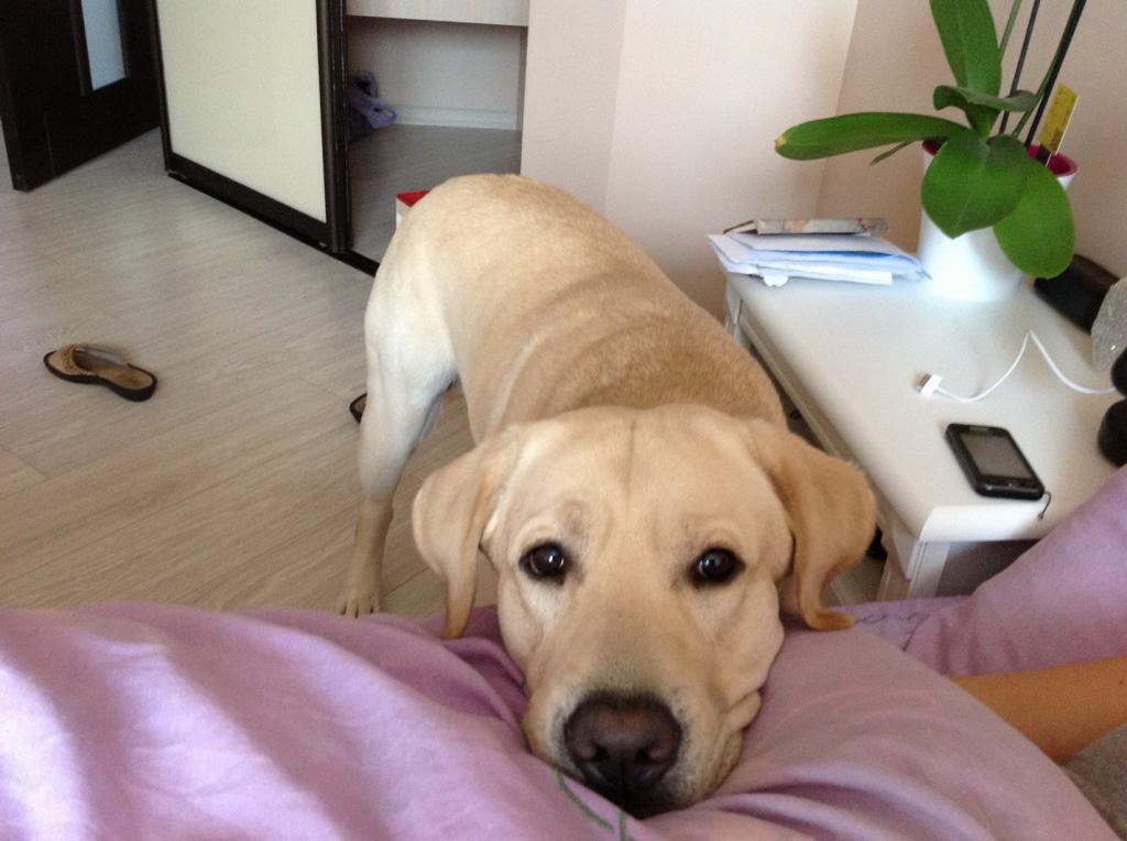 Как долго собака может оставаться в квартире одна? Все зависит от размера питомца, но хозяину стоит запомнить одну цифру   6 часов