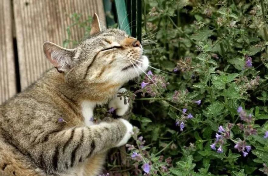 Почему кошачья мята или котовник превращает пушистиков в Чеширских Котов: во всем виноват непеталактон