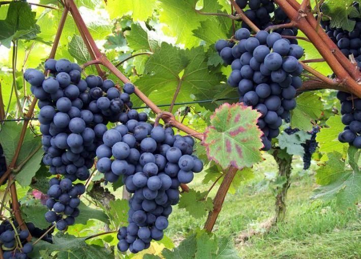 В июле необходимо подкормить виноград, чтобы ягоды были сладкими. Для этого я беру золу