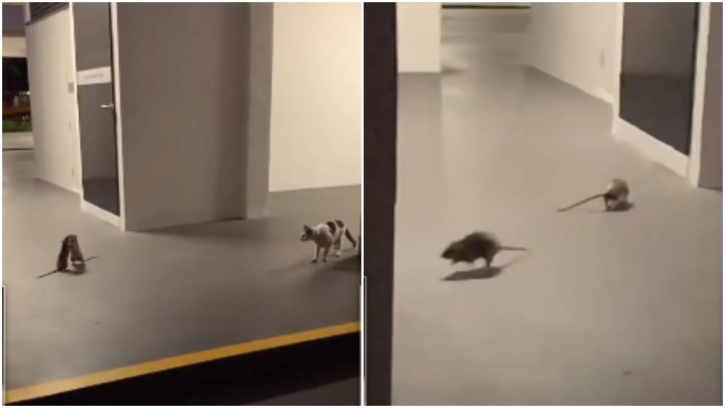 «Она просто очень ленивая!»: две крысы «выясняют отношения», а кошка соблюдает нейтралитет (видео)
