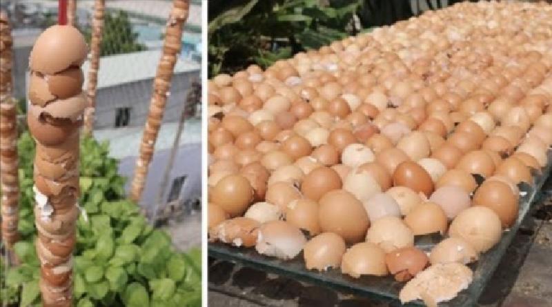 Яичная скорлупа   драгоценность для вашего участка. Как приготовить удобрение и сделать защиту от улиток