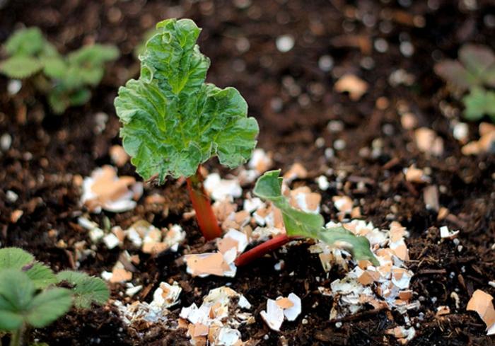 Яичная скорлупа   мой незаменимый помощник на огороде. 3 рецепта приготовления эффективного удобрения