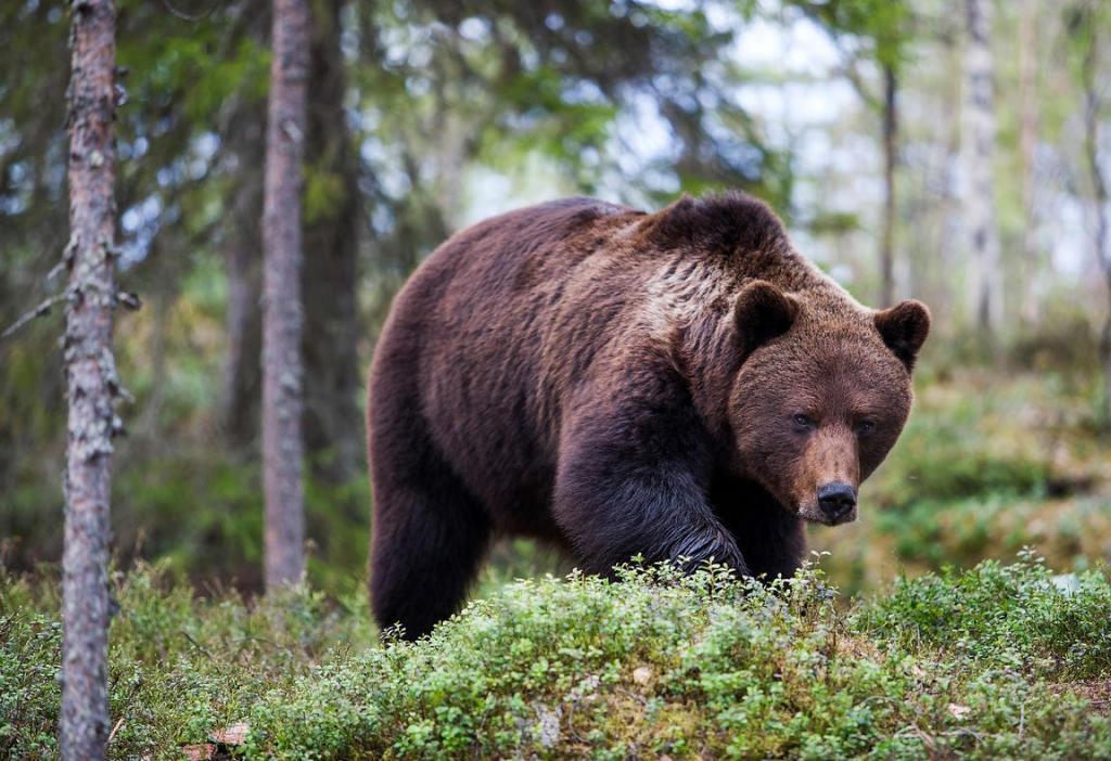 В Сети обсуждается невозмутимая реакция девушки на внезапно появившегося медведя