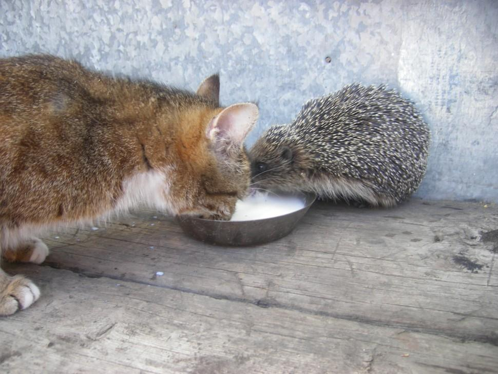 К дому женщины каждый день приходят еж и чужая кошка. Хозяйка решила не оставлять их без лакомств