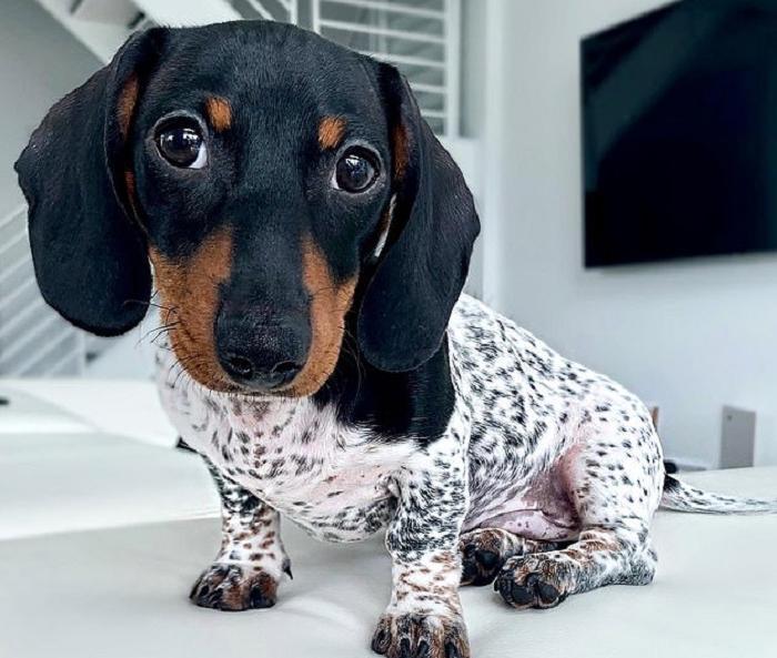 Такса или далматин? Очаровательный щенок имеет уникальный окрас (фото)