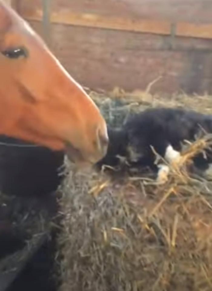 Лошадь решила поухаживать за котиком. Кажется, он не против ее внимания (видео)