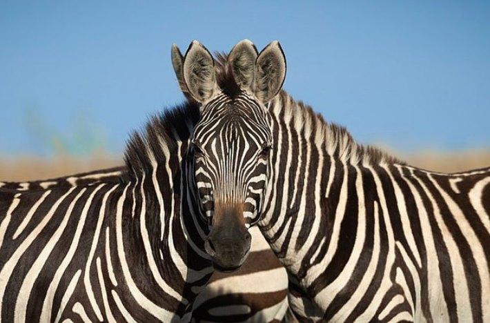 Какая из зебр смотрит в камеру? Оптическая иллюзия из реальной фотографии вызвала жаркие споры