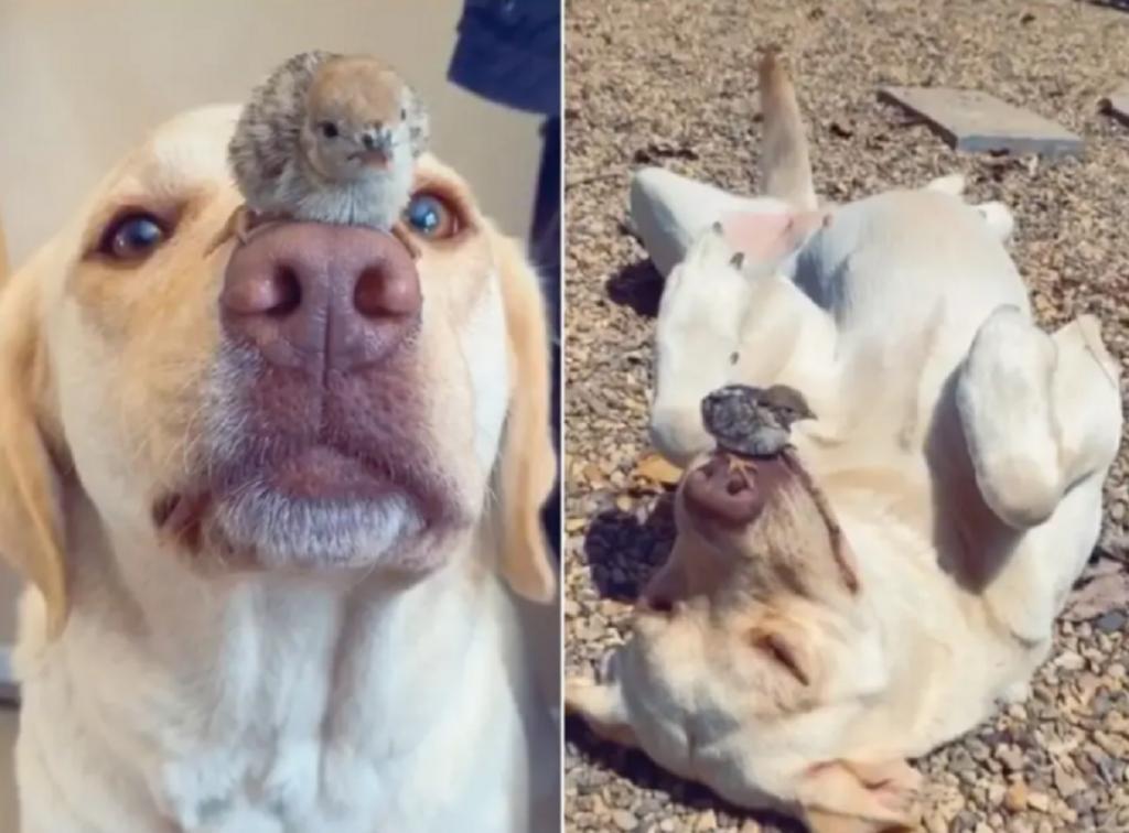 Лабрадор и цыплята стали звездами соцсетей после того, как стали лучшими друзьями