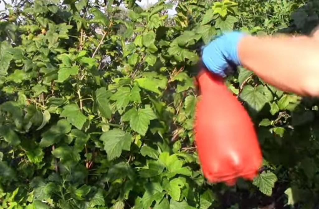 Чем подкормить смородину после сбора урожая, чтобы она хорошо плодоносила и в следующем году