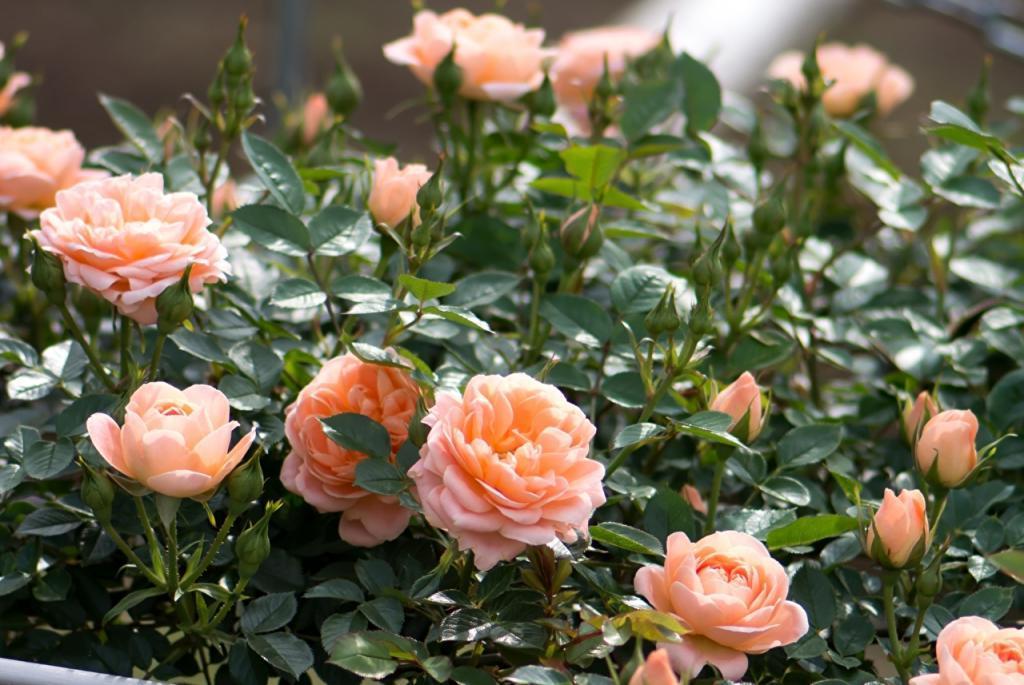 Всего неделя - и у вас появятся новые саженцы розы: сосед по даче раскрыл мне самый быстрый способ