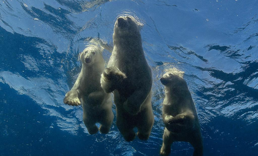 Когда они проплыли мимо, я потерял дар речи: фотограф отправился в Арктику, чтобы снять белых медведей в естественной среде