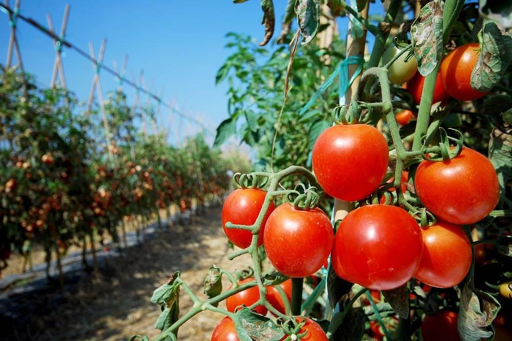 Бабушка мне однажды сказала, что томаты любят соль не только на столе: поливаю их солевым раствором в период активного плодоношения