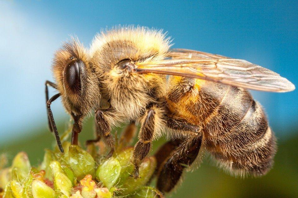 Численность пчел сокращается во всем мире. Можем ли мы заменить их мухами?