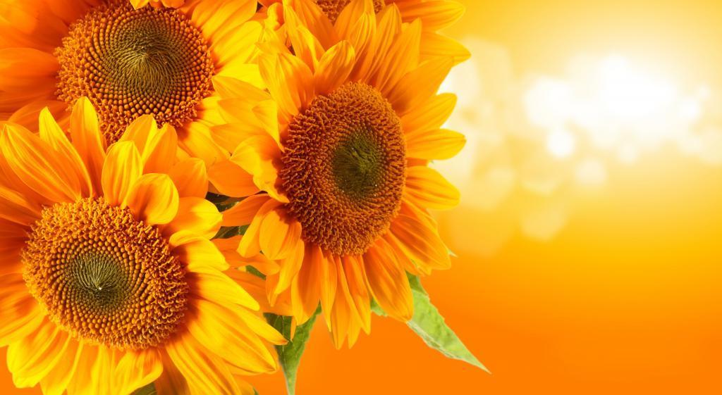 Жизненная сила и цветок лета: происхождение, значение, букеты – что еще мы знаем о подсолнухах
