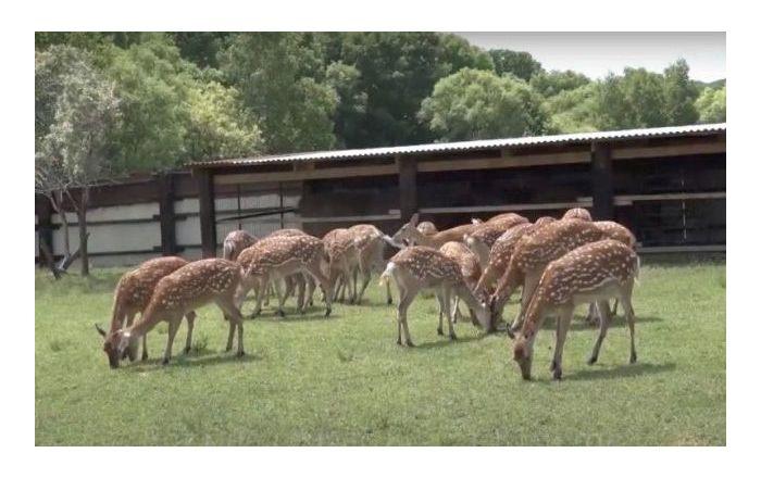 Семья пенсионеров приютила на участке редких оленей, и сейчас их уже десятки