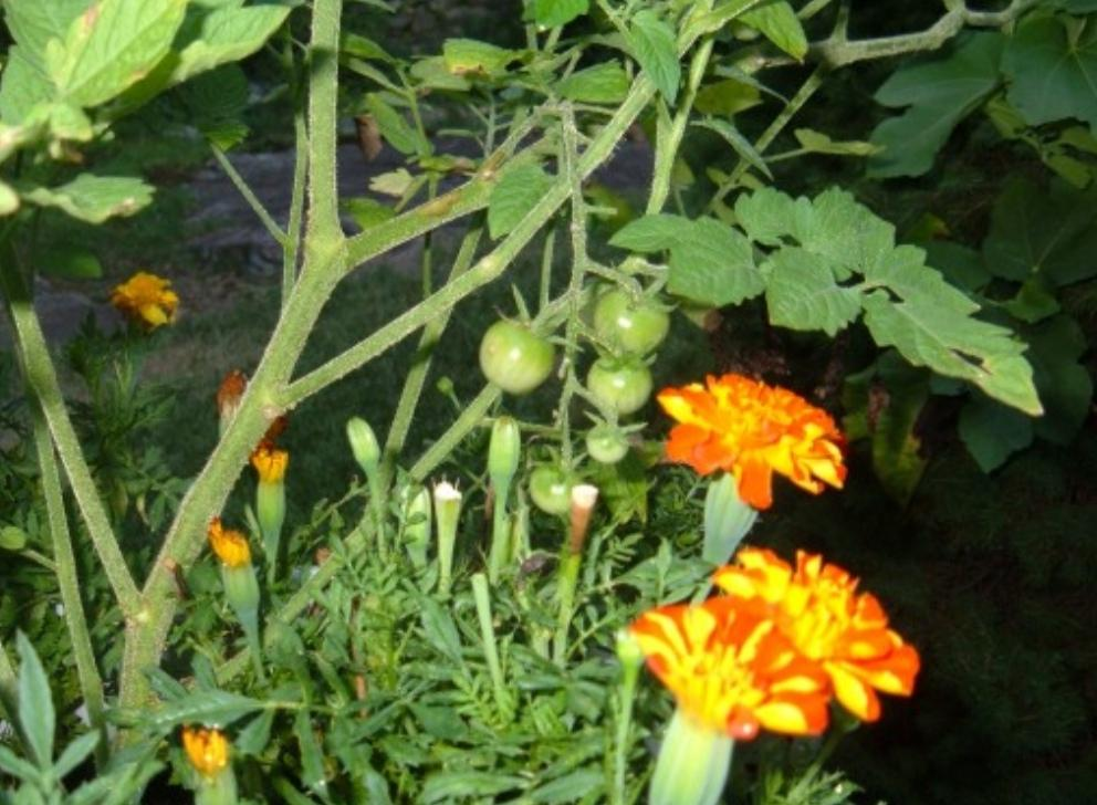 Соседка сажает на помидорных грядках бархатцы и базилик. Когда узнала зачем, сделала и у себя так же
