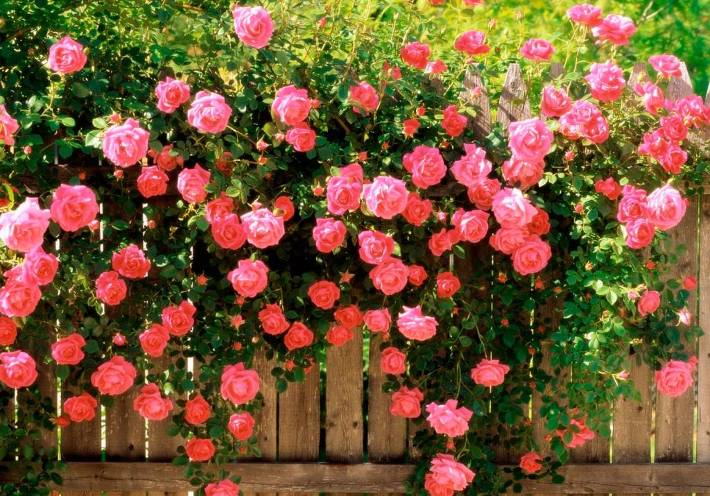 Соседка по даче поделилась простыми хитростями, которые позволяют розам обильно цвести и радовать глаз до конца лета