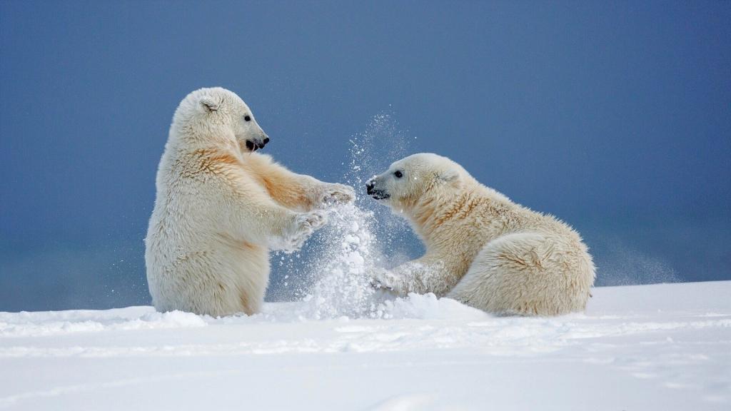800 тысяч гектаров для сохранения популяции белого медведя: в России появится новый природный заповедник Медвежьи острова
