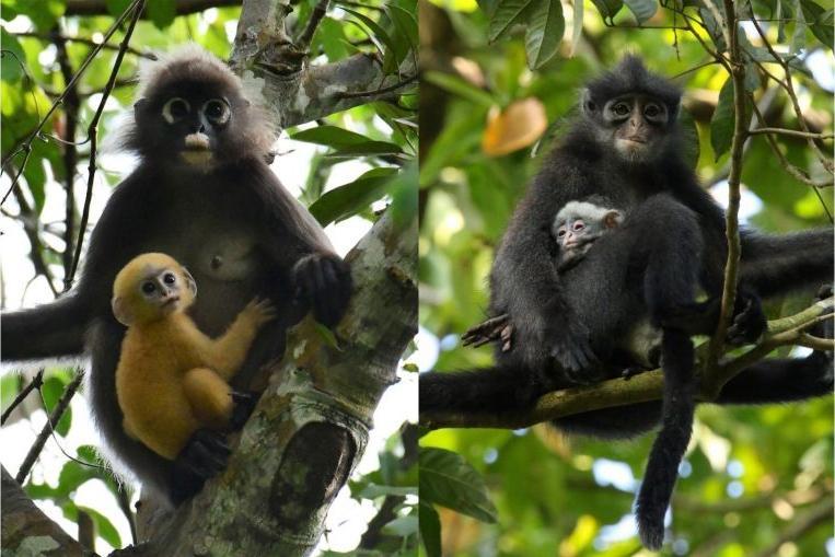 Незаконные мигранты: в Сингапуре заметили стаю обезьян родом из Малайзии