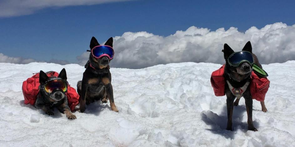 3 австралийские пастушьи собаки Тима Ливси носят защитные очки и являются звездами Instagram