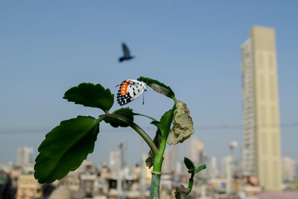 Из-за эпидемии индийский натуралист не мог путешествовать по миру, поэтому решил запечатлеть жизненный цикл бабочки у себя на подоконнике (фото)