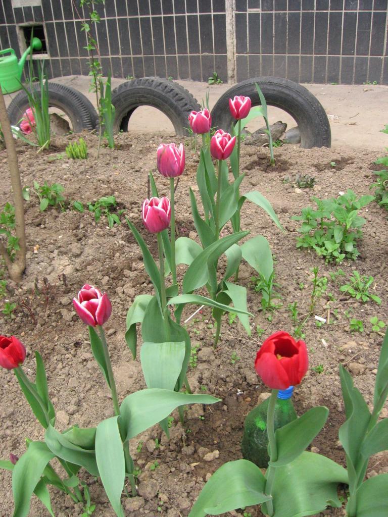 Уже пора убрать с грядки. Тюльпаны выкапываю сейчас, а сажаю в сентябре. Секрет пышного цветения