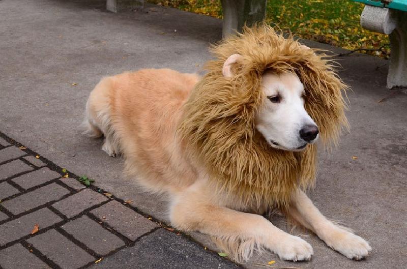 Осторожно, в доме лев: шьем милый костюмчик для любимой собаки